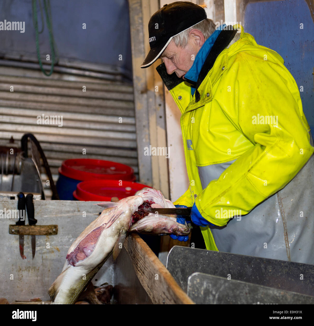 Today's catch of cod is slaughtered on board. From Lofoten, February - Stock Image