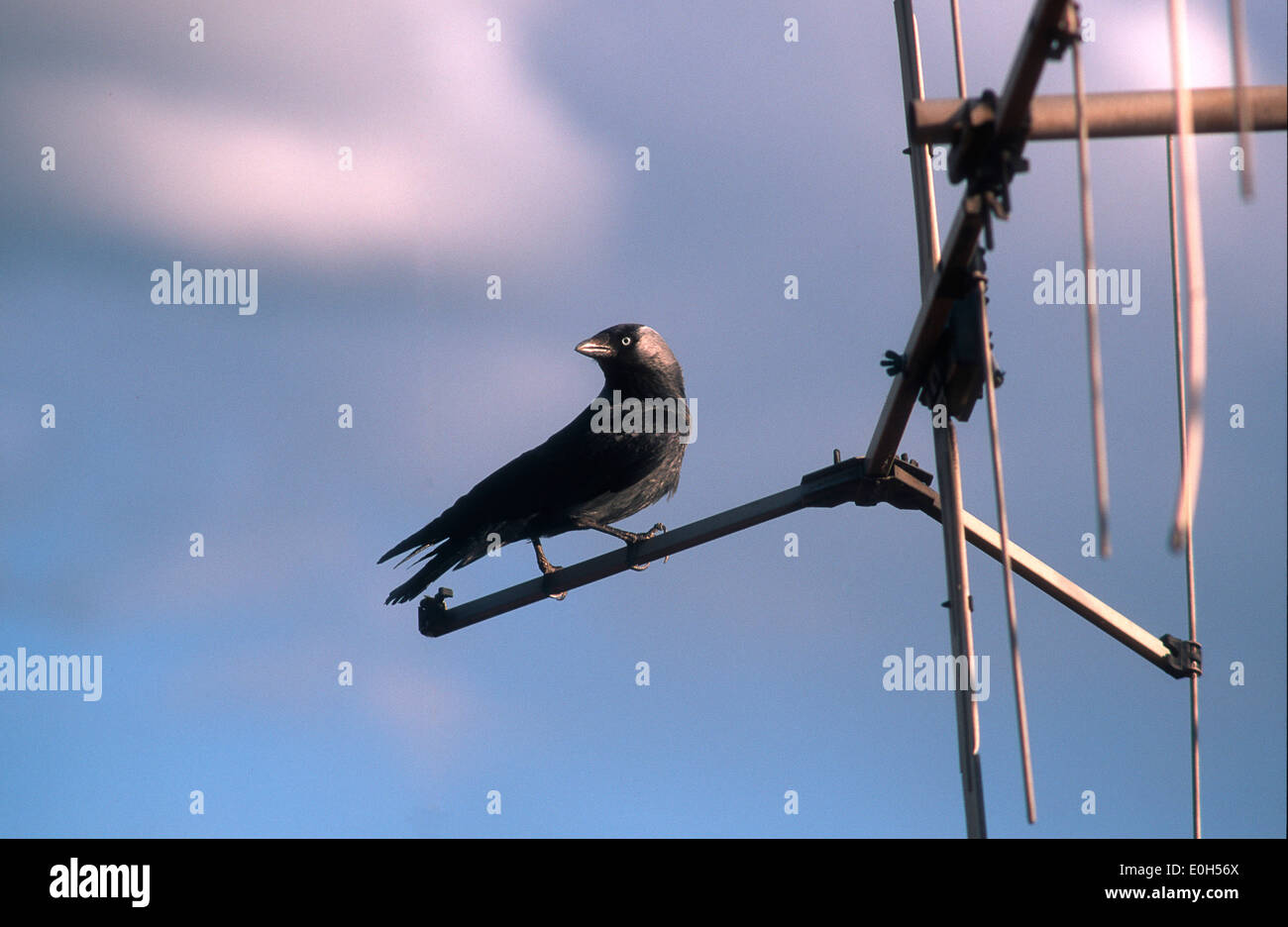 Raven on a TV aerial - Stock Image