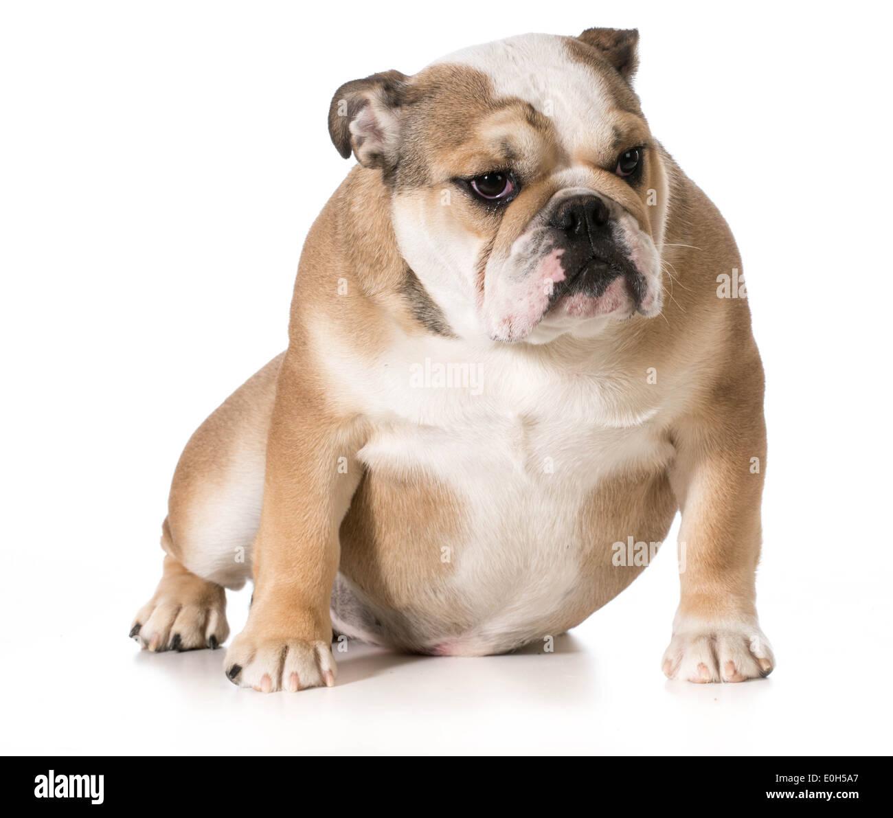 english bulldog sitting - 8 month old puppy - Stock Image