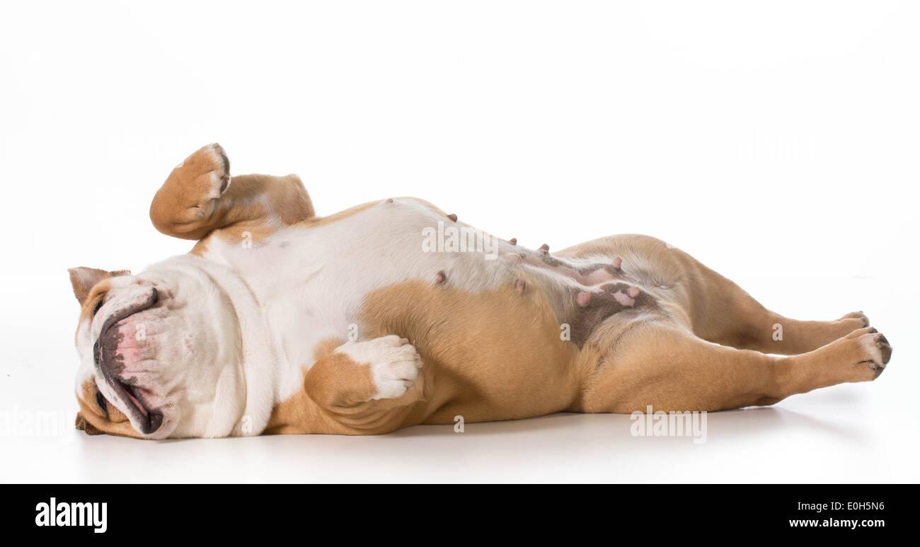 english bulldog laying on back sleeping - 7 months old - Stock Image