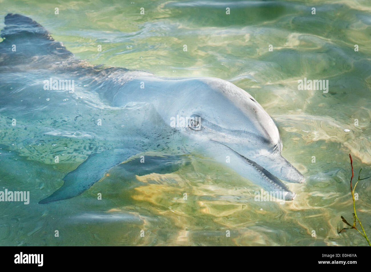 Bottlenose Dolphin in shallow water. - Stock Image