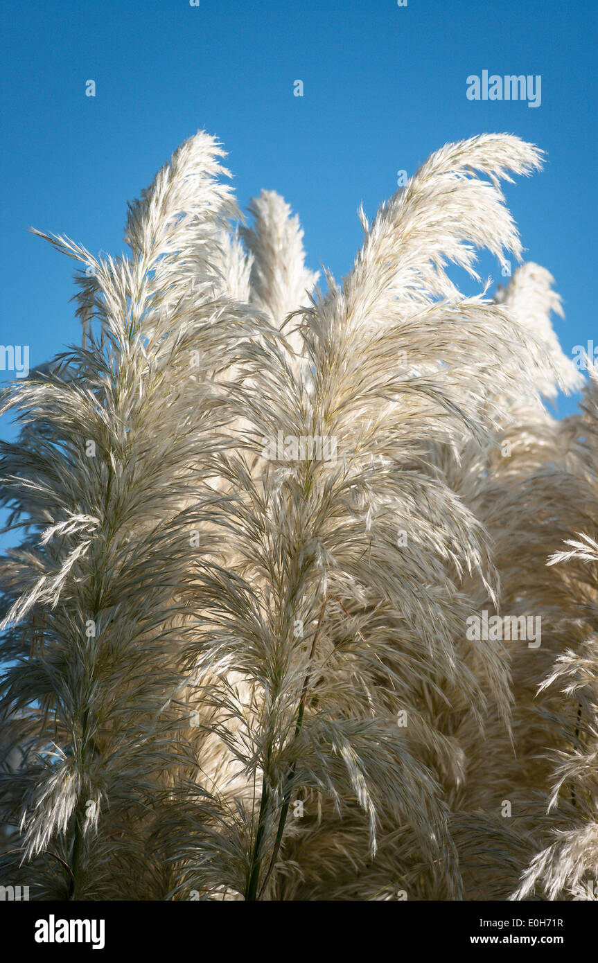 White plumes of pampas grass against a blue sky - Stock Image