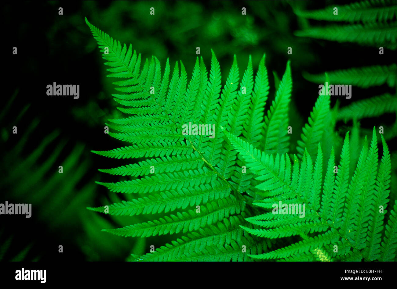 Fern close-up view - Stock Image