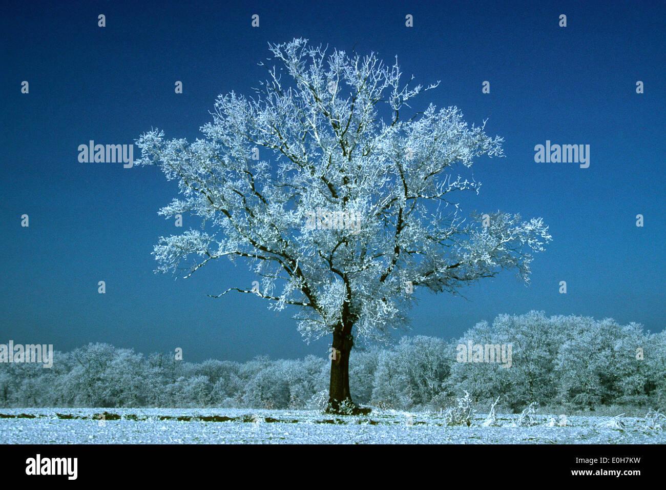 Oak tree in winter scene at dawn - Stock Image