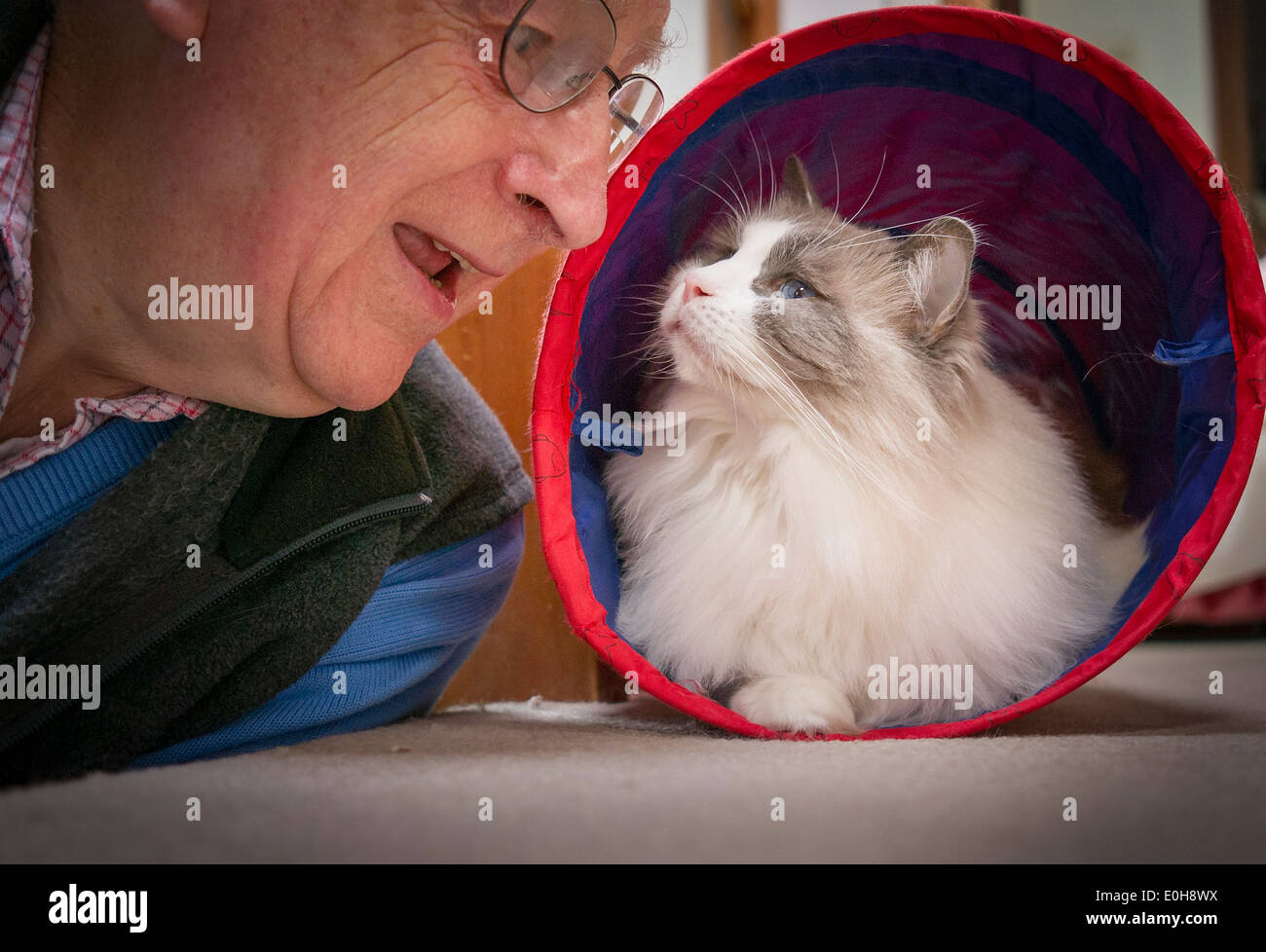 Owner playing with Ragdoll cat emerging from toy tunnel - Stock Image