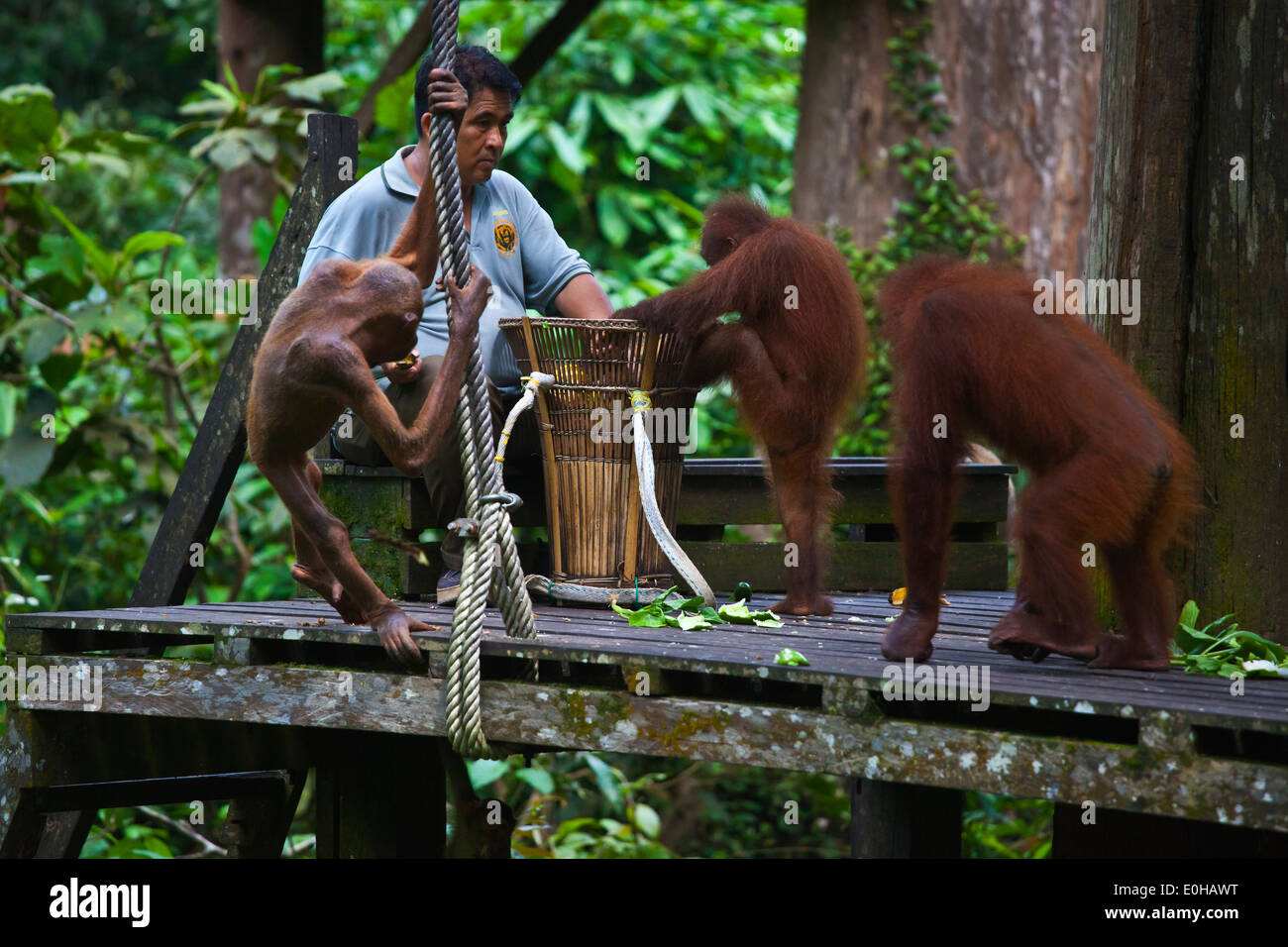 Orangutans are fed at the Sepilok Orangutan Rehabilitation Center in the Kabili Sepilok Forest -  BORNEO Stock Photo