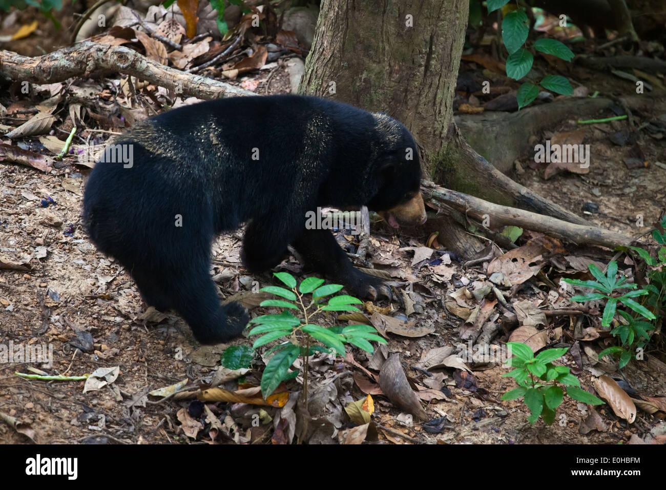 A sun bear (Helarctos malayanus) at the Bornean Sun Bear Conservation Center located near Sandakan in Sepilok - MALAYSIA, BORNEO - Stock Image