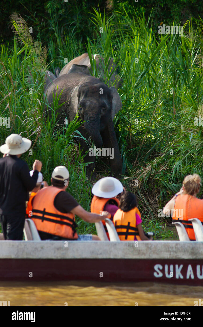 Tourists view BORNEAN PYGMY ELEPHANTS in the KINABATANGAN RIVER WILDLIFE SANCTUARY - BORNEO - Stock Image