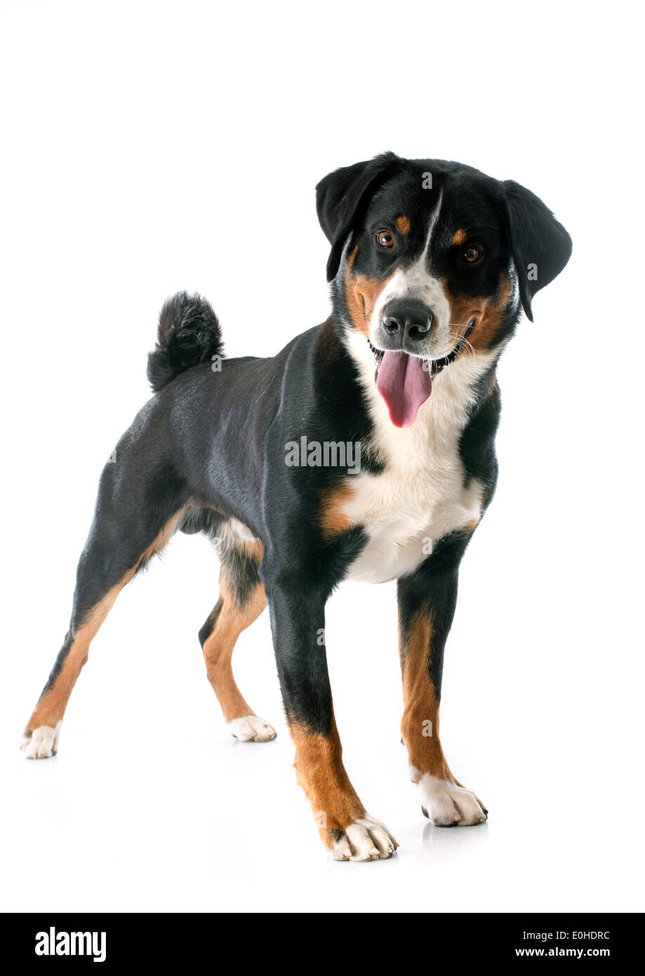 Appenzeller Sennenhund In Front Of White Background Stock