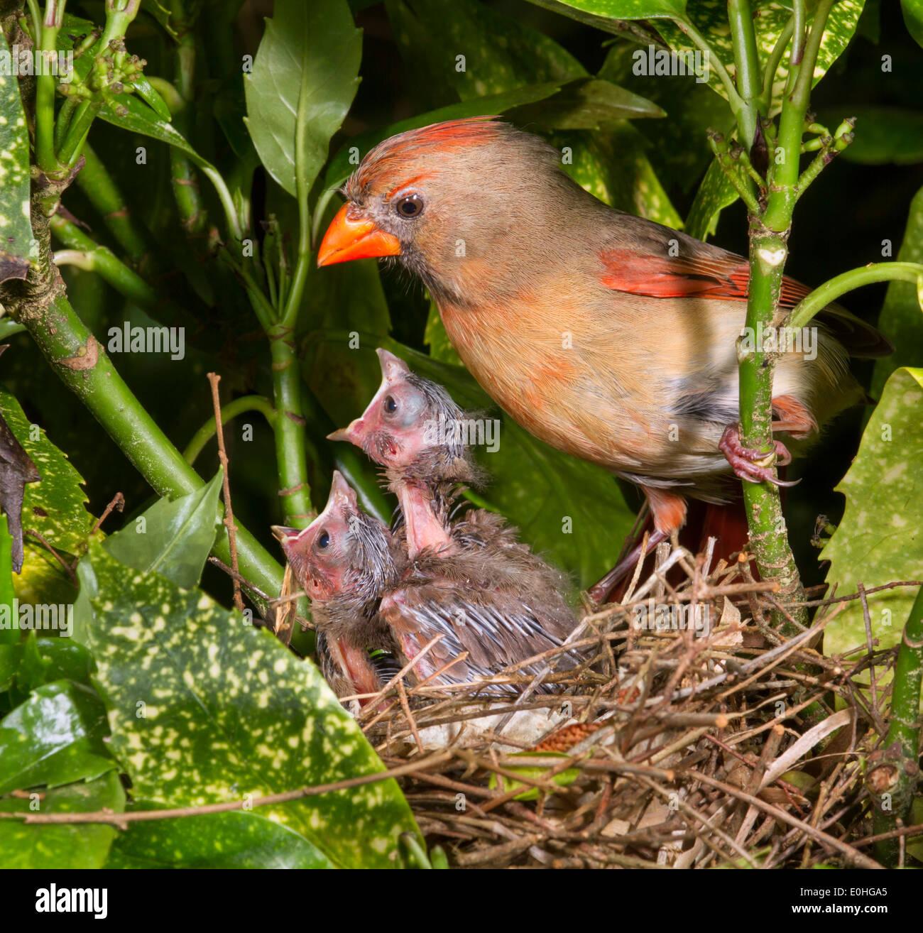 Female northern cardinal (Cardinalis cardinalis) near the nest with nestlings. Stock Photo