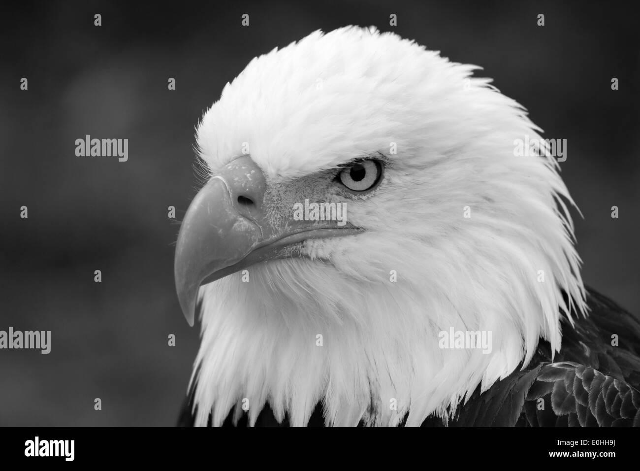 An american bald eagle at an outdoor bird sanctuary near otavalo ecuador stock image