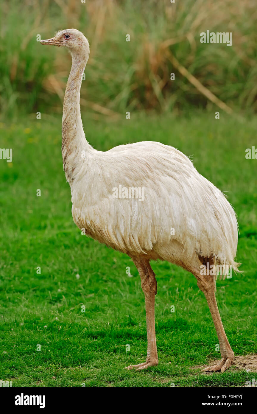 American Rhea, Greater Rhea or Common Rhea (Rhea americana), leucistic - Stock Image