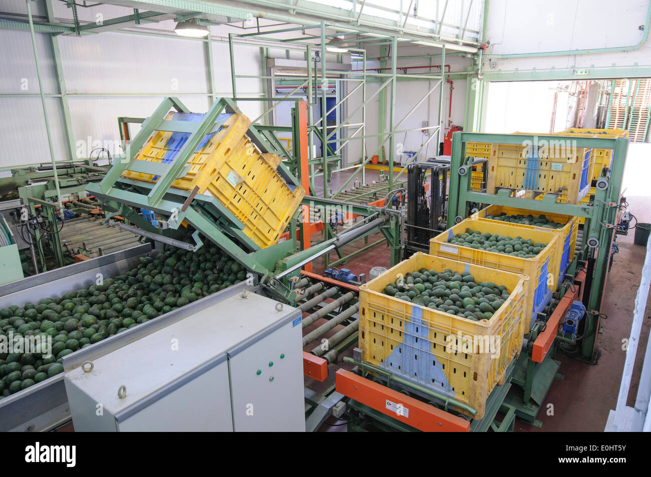 Computerized Avocado sorting and packing plant. - Stock Image