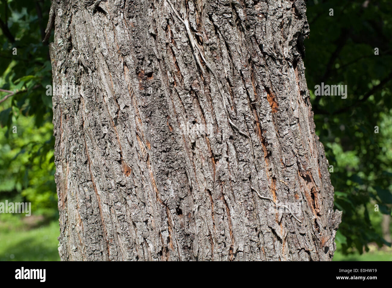 Baumrinde - Tree bark - Stock Image