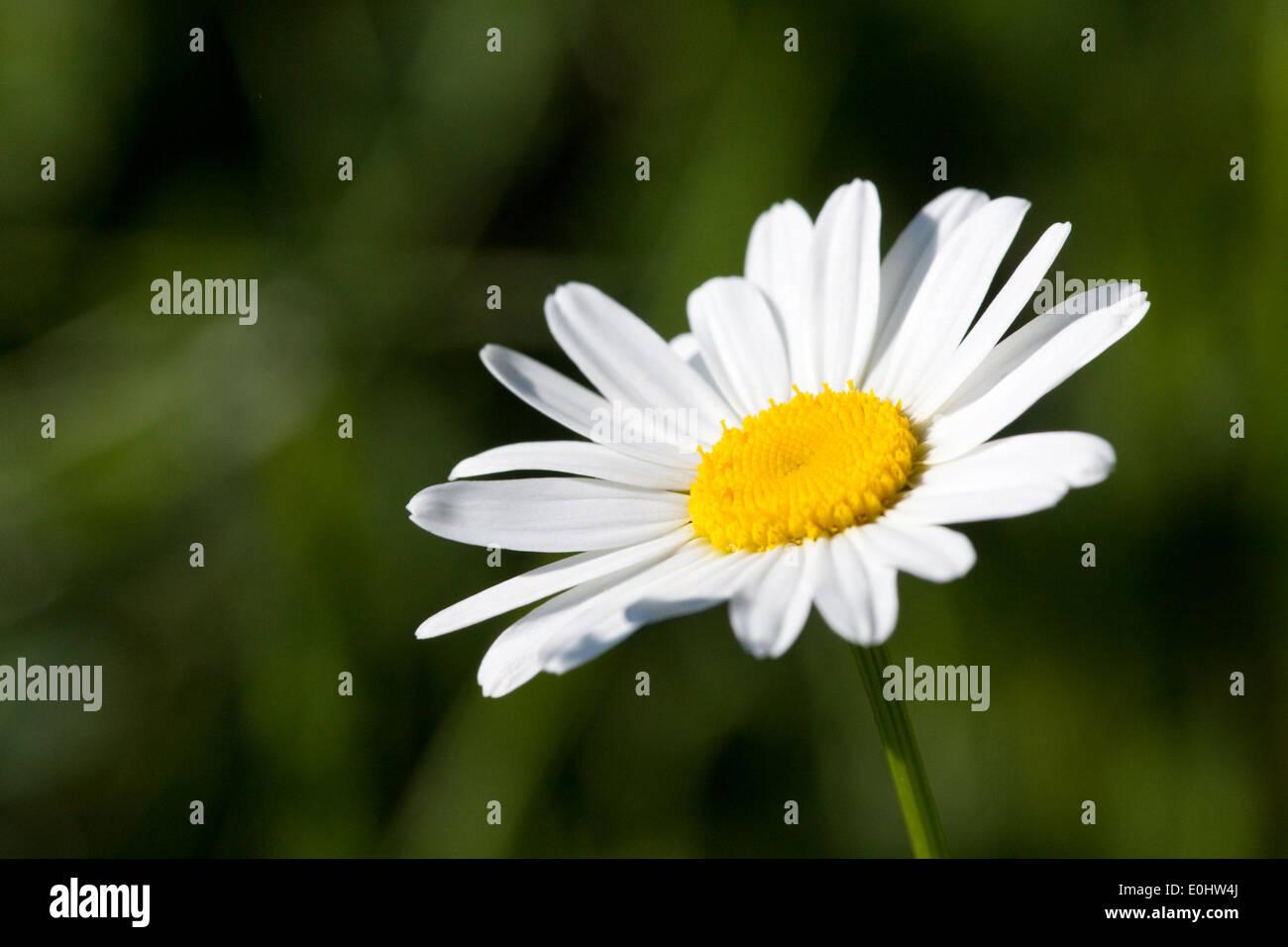 Margerite - White oxeye daisy Stock Photo