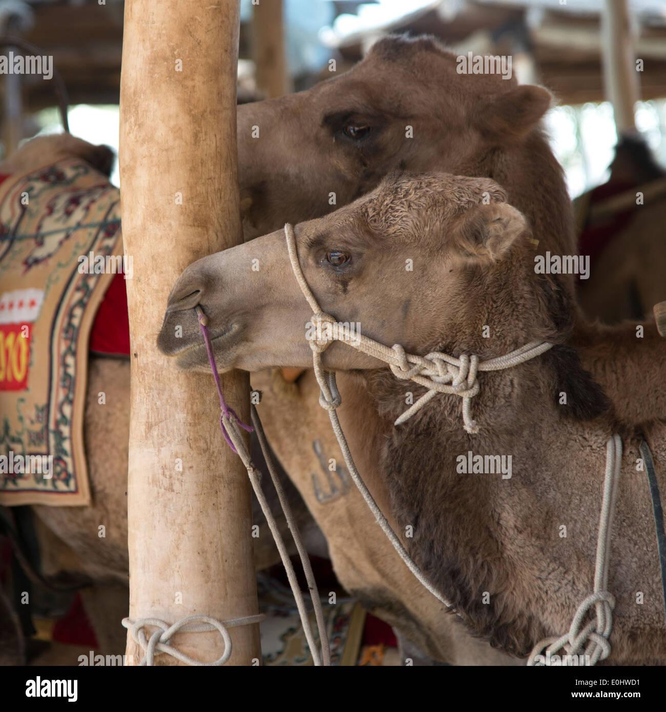 Close-up of camels, Dunhuang, Jiuquan, Gansu Province, China - Stock Image