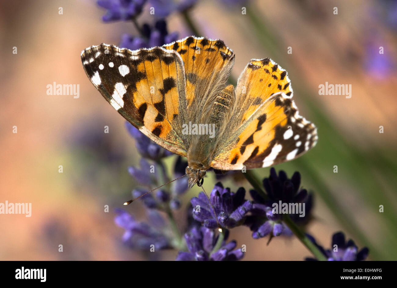 Distelfalter - Painted Lady Stock Photo