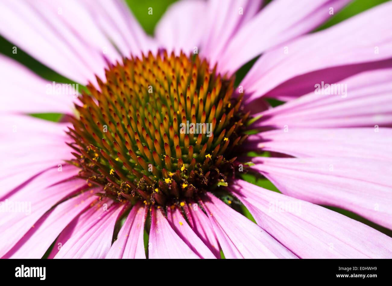 Purpur Sonnenhut (Echinacea), DIE GARTEN TULLN 2009 - purple Coneflower (Echinacea) - Stock Image
