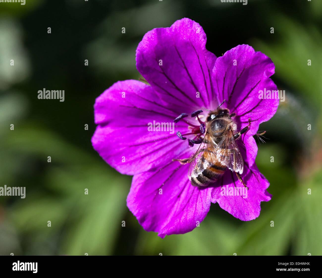 Biene, Storchschnäbel (Geranium), DIE GARTEN TULLN 2009 - Bee, Cranesbill (Geranium) - Stock Image