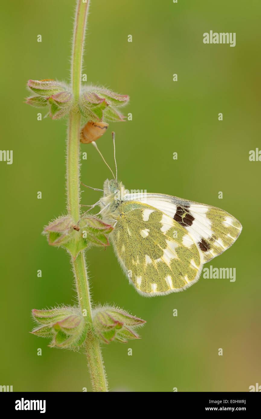 Bath White (Pontia daplidice), Provence, France Stock Photo