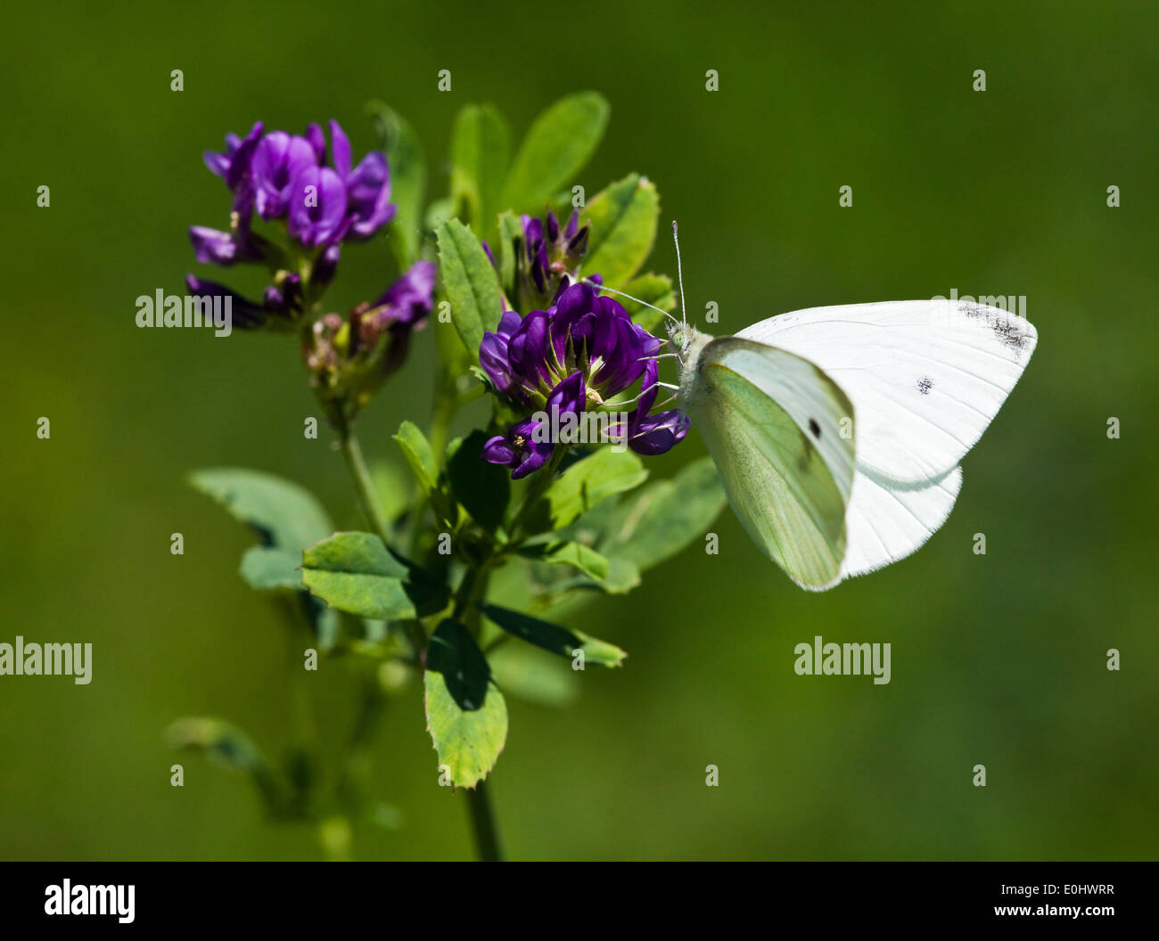 Kleiner Kohlweißling (Pieris rapae) - Small White (Pieris rapae) - Stock Image
