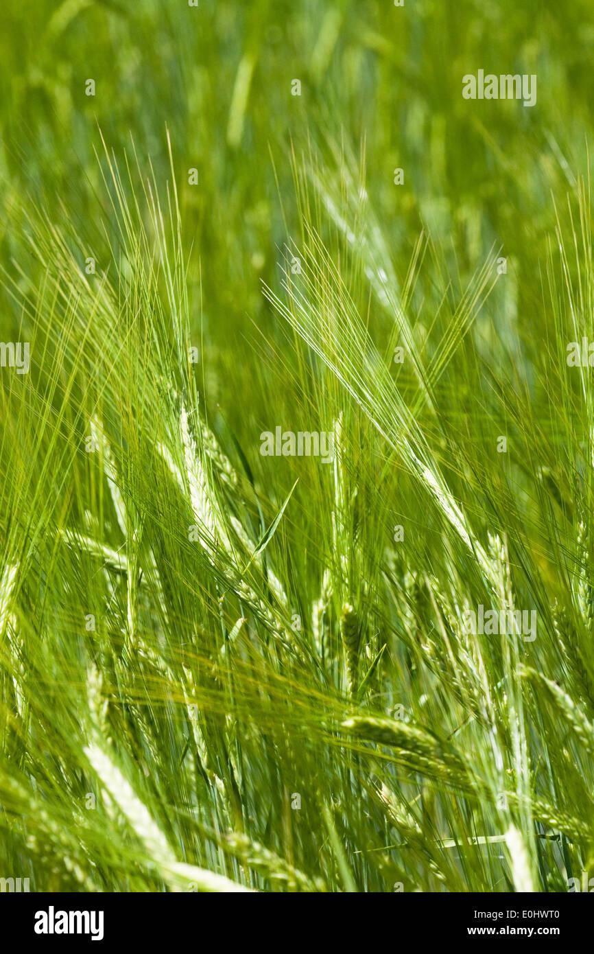Sommergerste, (Hordeum), DIE GARTEN TULLN 2009 - Barley, (Hordeum) Stock Photo