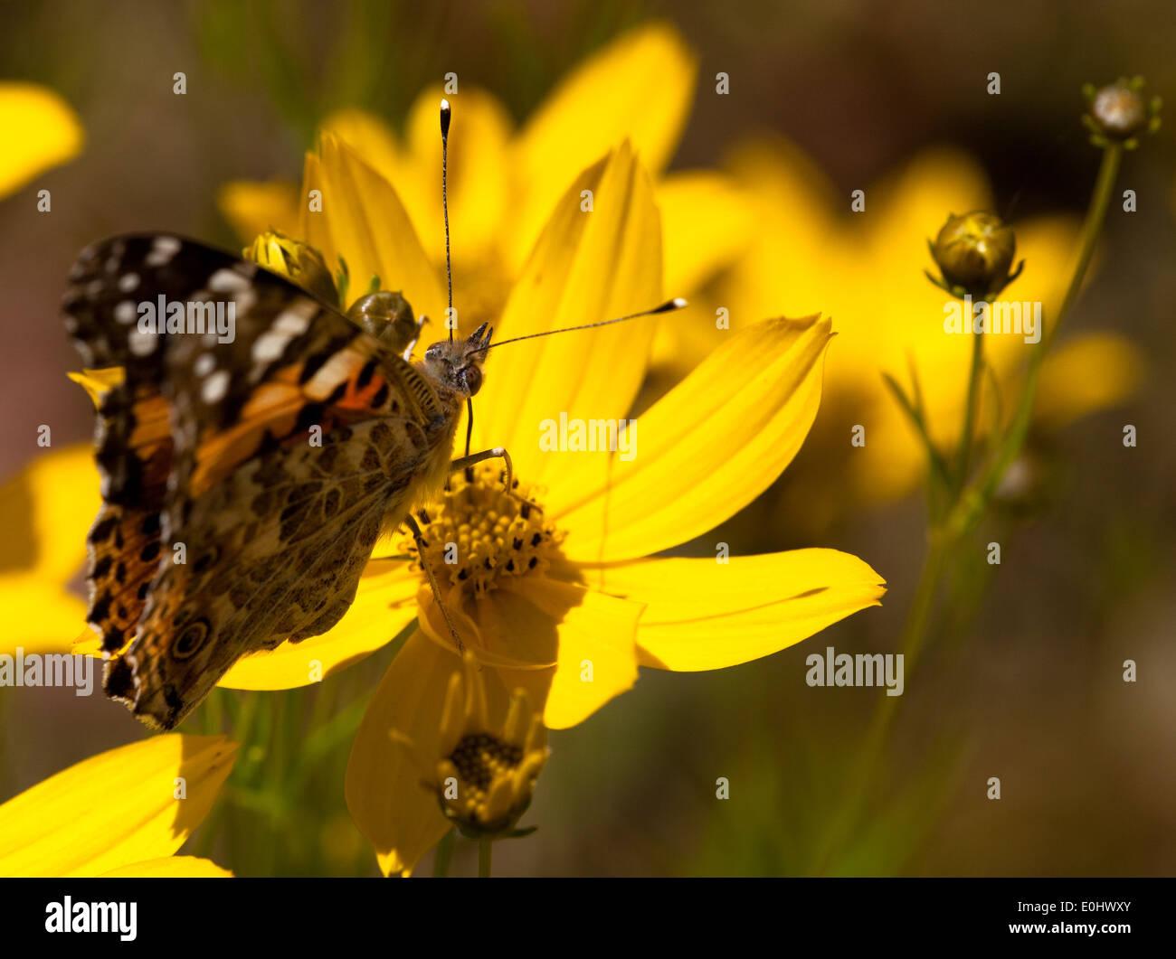 Distelfalter, Topinambur (Helianthus tuberosus), DIE GARTEN TULLN 2009 - Painted Lady, Jerusalem artichoke Stock Photo