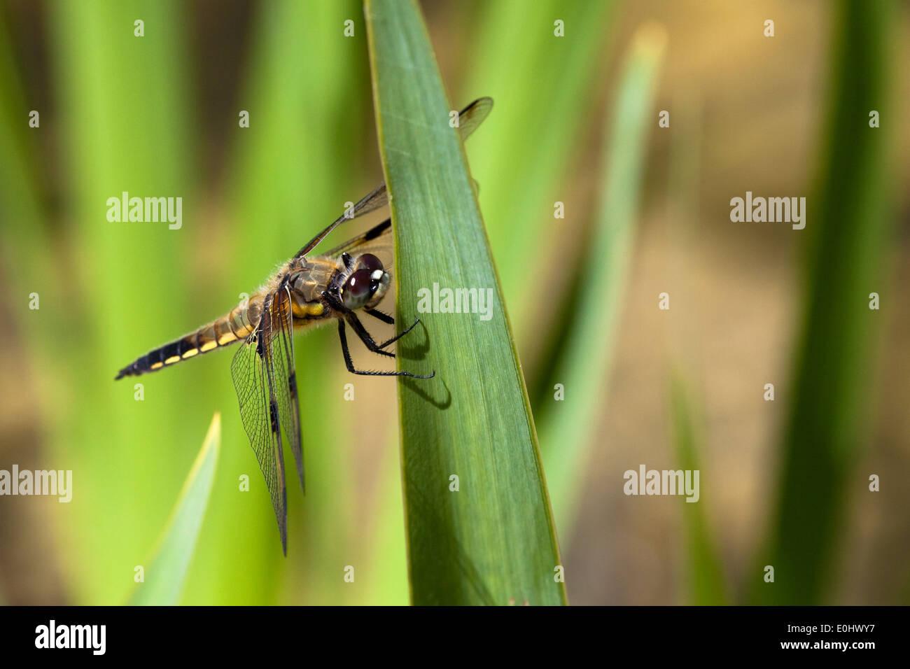 Vierfleck (Libellula quadrimaculata) - Four-spotted Chaser (Libellula quadrimaculata) - Stock Image