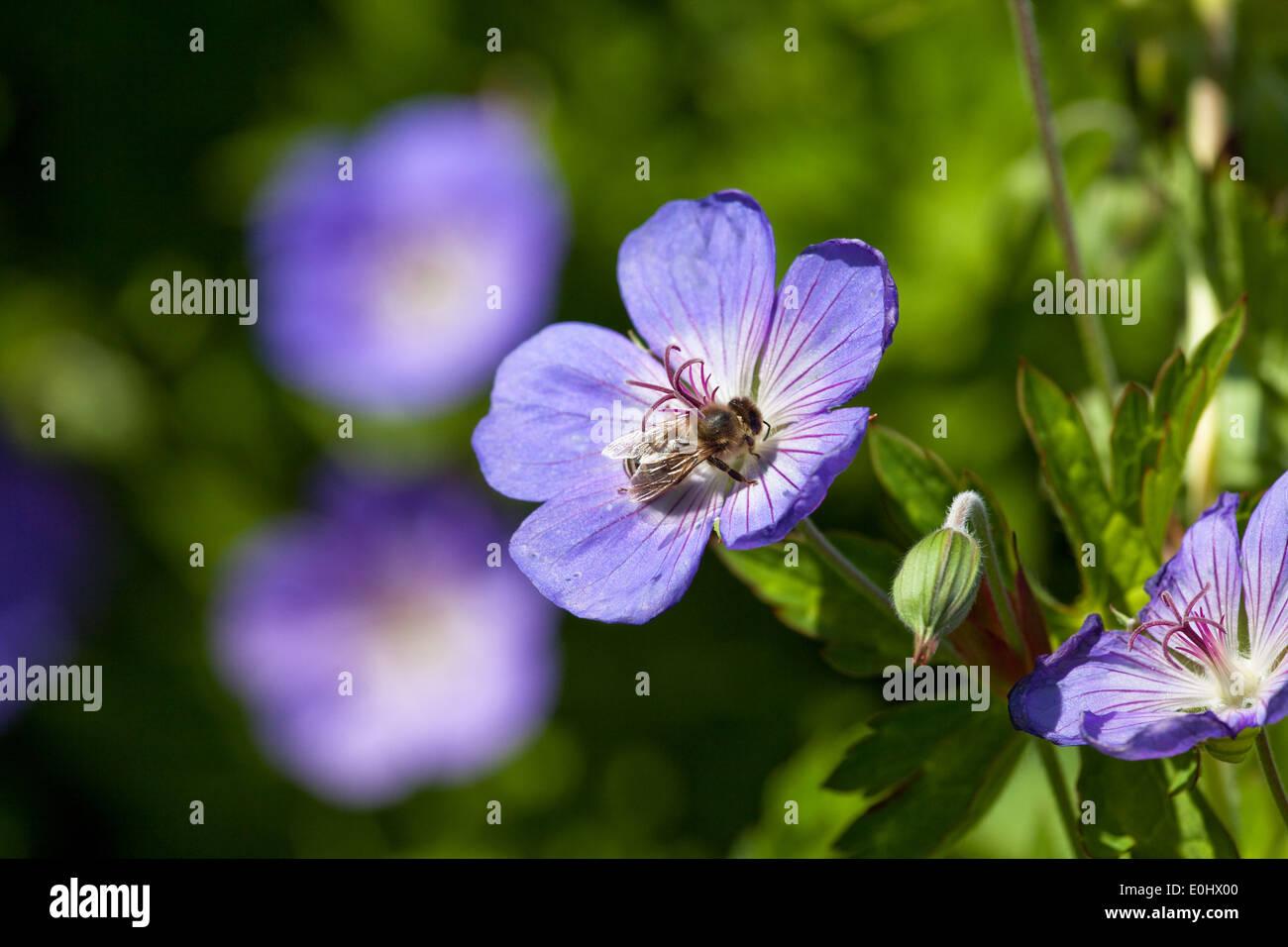 Storchschnabel, Geranie, (Geranium wlassovianum), DIE GARTEN TULLN 2009 - Geranium, (Geranium wlassovianum) - Stock Image