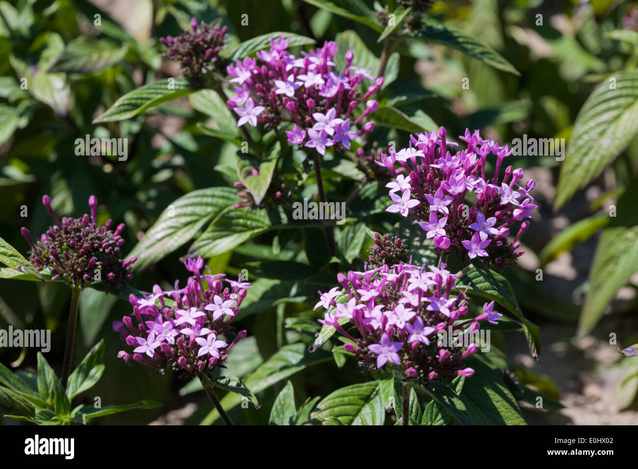 Sternblume, Graffiti Violett, (Pentas lanceolata), DIE GARTEN TULLN 2009 - Pentas lanceolata - Stock Image