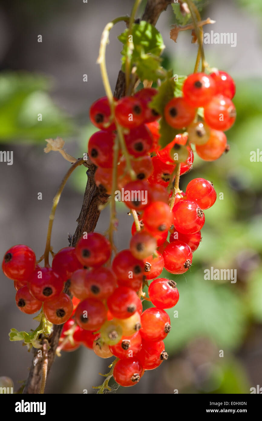 Rote Ribisel - Red currant Stock Photo