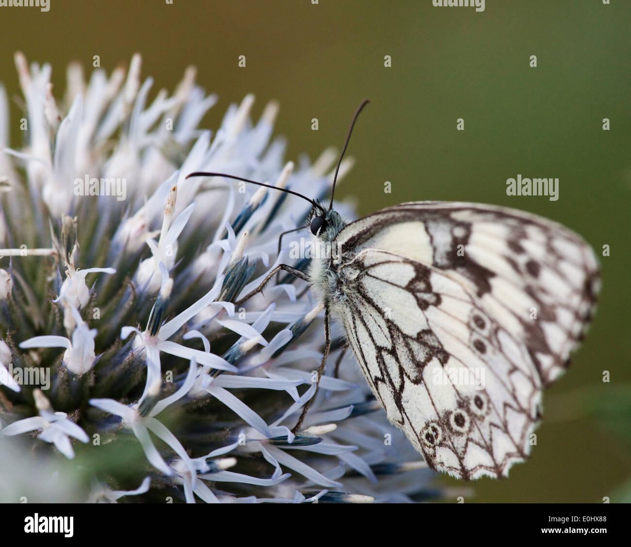 Schachbrett(Melanargia galathea), Blaudistel (Eryngium alpinum) - Marbled White (Melanargia galathea), Alpine Sea Holly - Stock Image