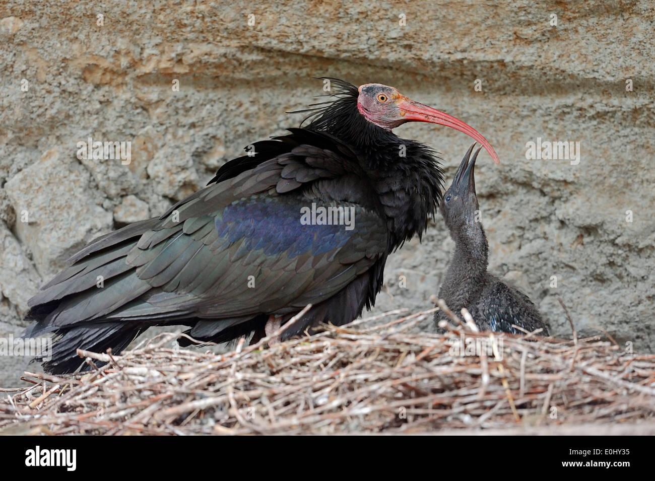 Northern Bald Ibis, Hermit Ibis or Waldrapp (Geronticus eremita) with chick at nest - Stock Image