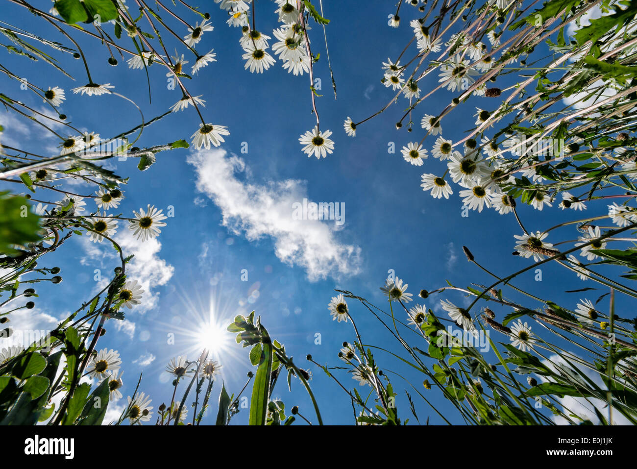Longstanton, Cambridgeshire UK 14th May 2014. Ox eye daisies burst into bloom as warm sunny weather returns to the UK. The wild plants self-seed  and form a mass of white flowers at the side of the road in the village of Longstanton covering what would otherwise be bare ground. Credit Julian Eales/Alamy Live News Stock Photo