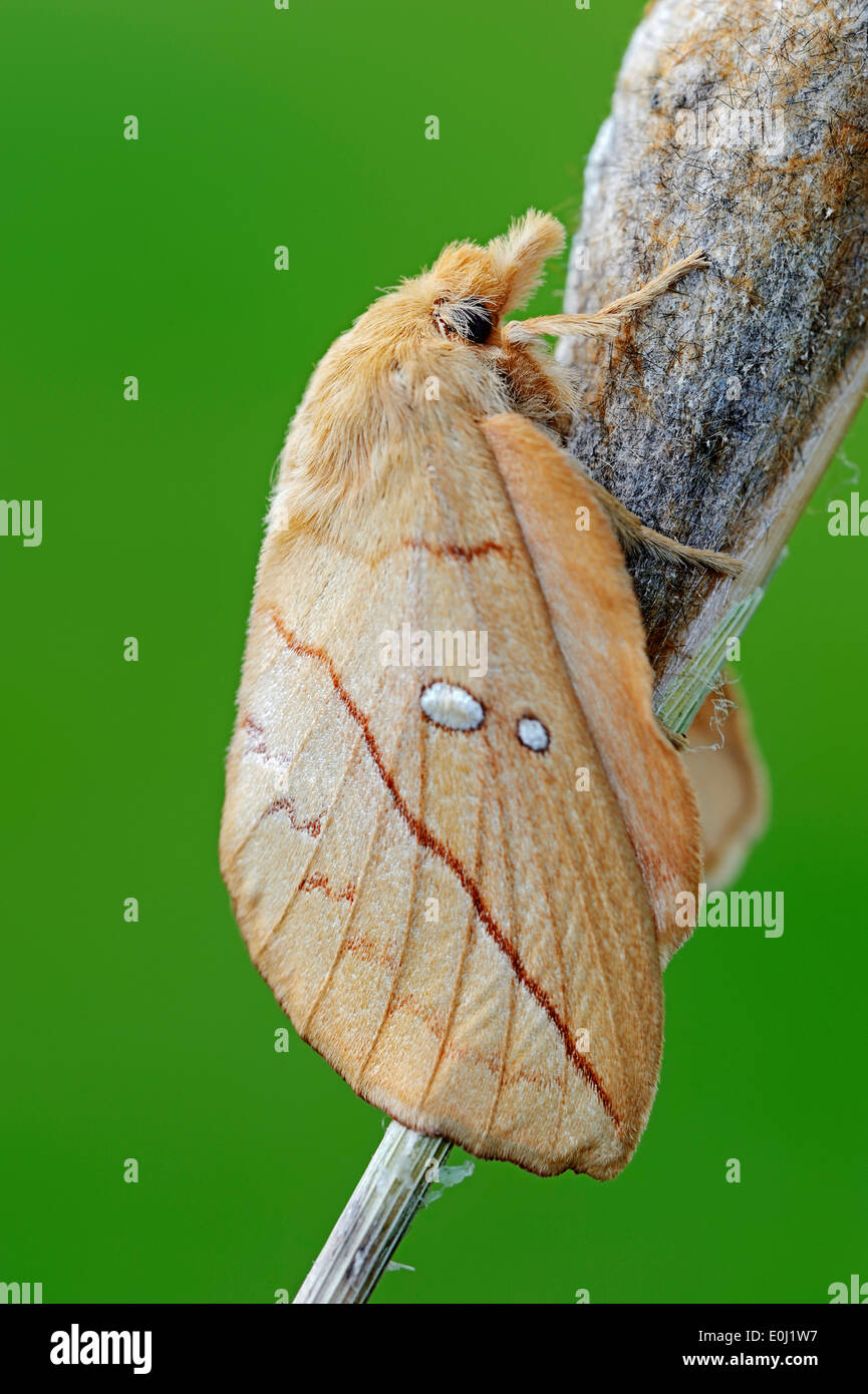 Drinker Moth (Philudoria potatoria), freshly hatched, on cocoon, North Rhine-Westphalia, Germany - Stock Image