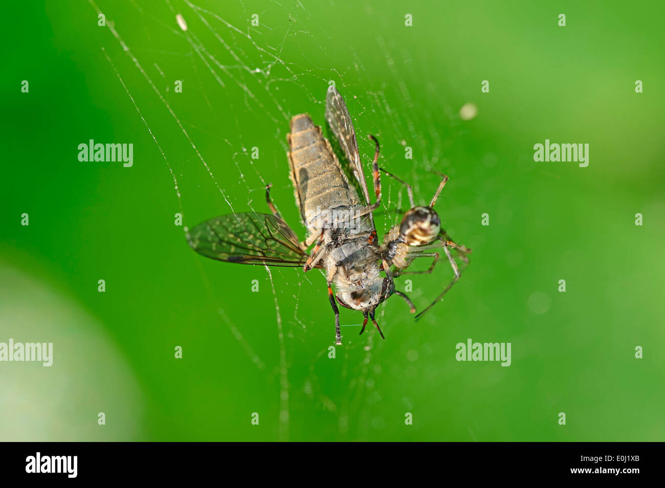 Sheet Web Spider (Linyphia triangularis) in web with seized Horse Fly, North Rhine-Westphalia, Germany - Stock Image