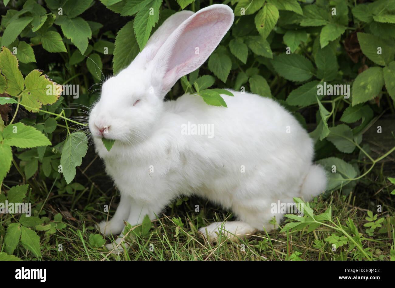White rabbit eating leaves. - Stock Image