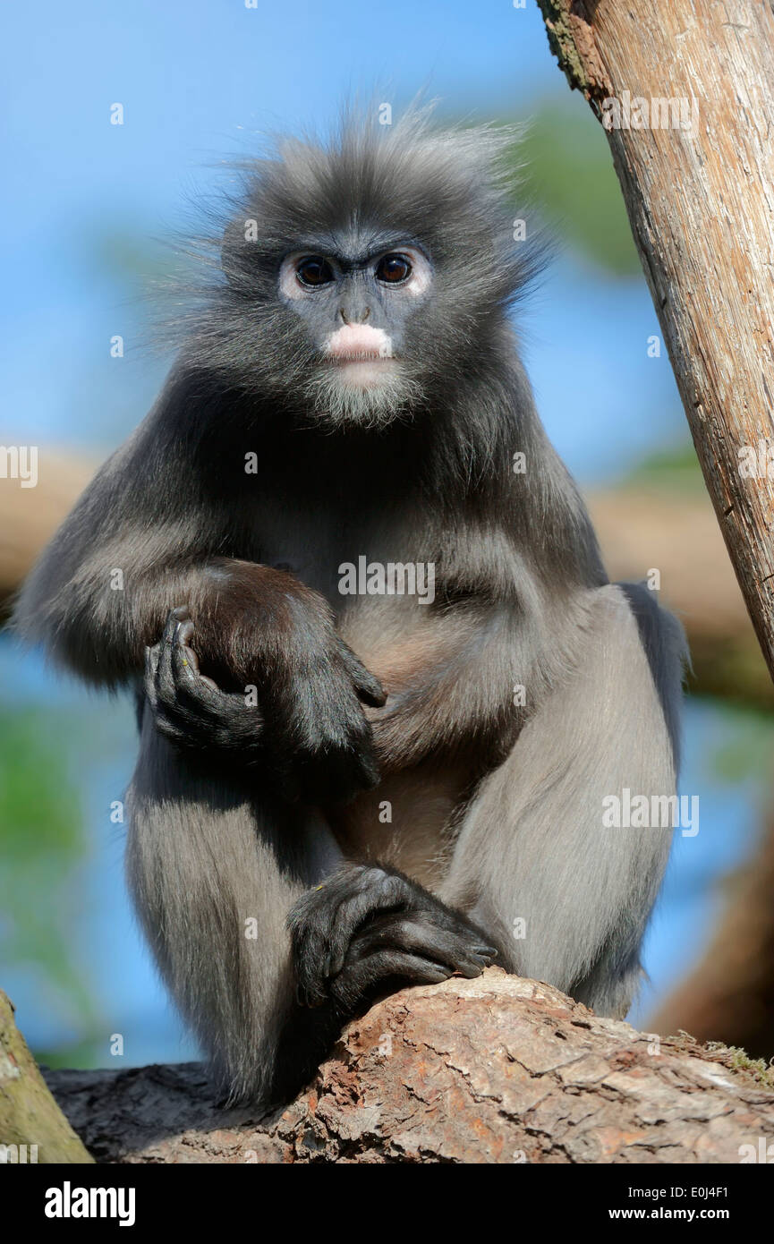 Dusky Leaf Monkey, Spectacled Langur or Spectacled Leaf Monkey (Trachypithecus obscurus, Presbytis obscurus) - Stock Image