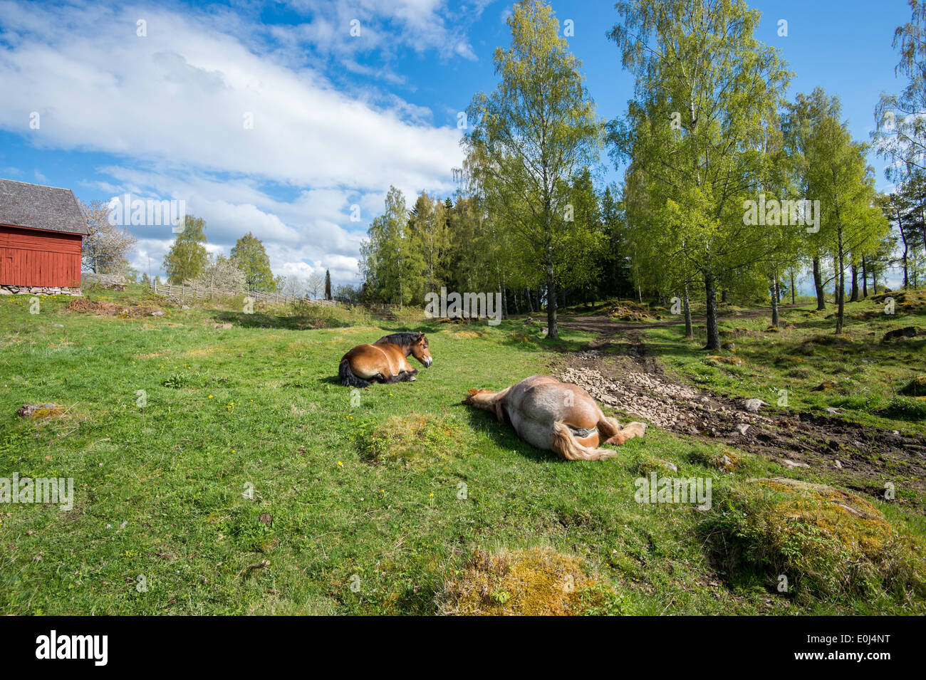 Springtime in Sweden - Ardennes horses resting on a sunny day in the countryside of Sweden - Stock Image