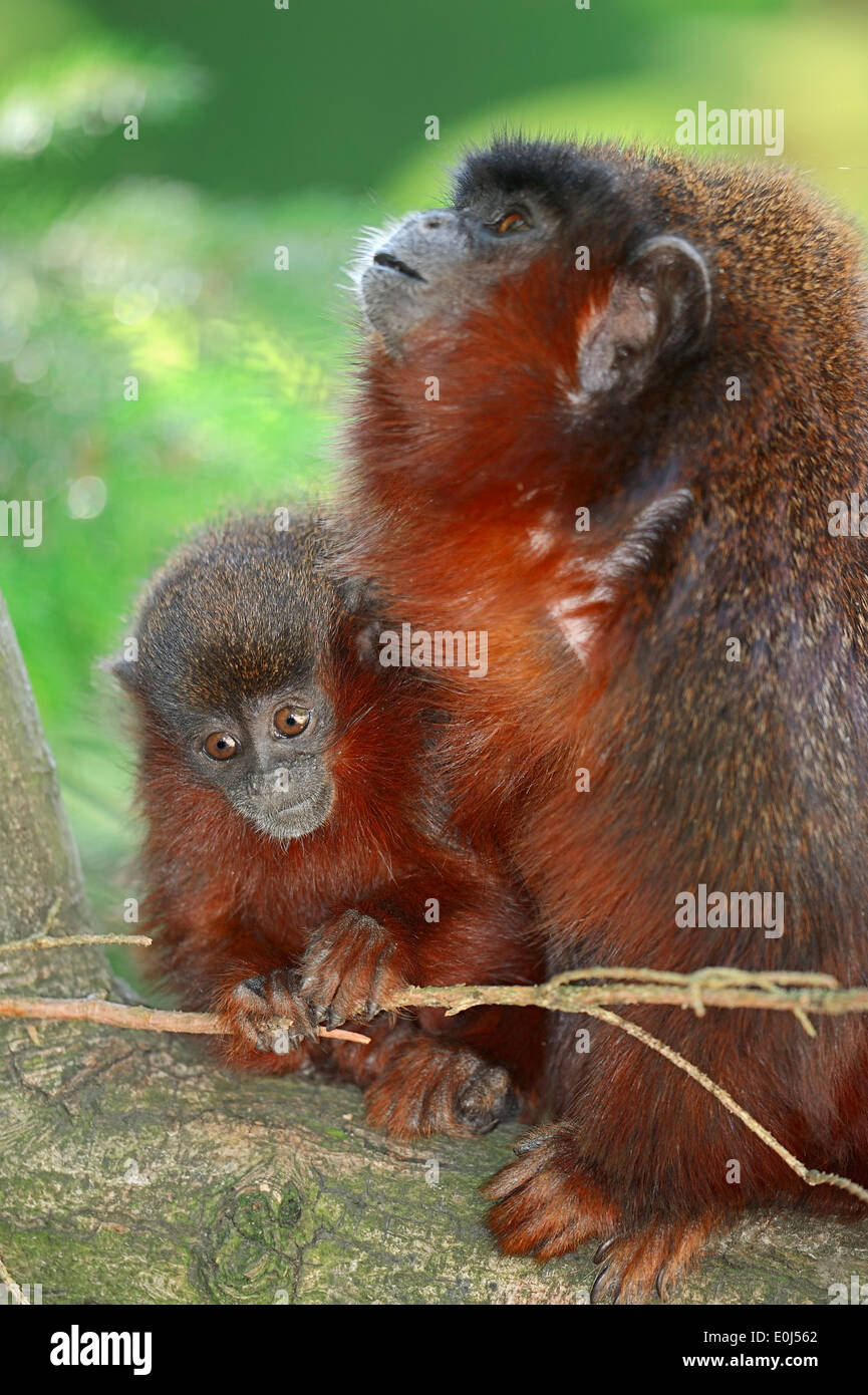 Coppery Titi Monkey or Red Titi Monkey (Callicebus cupreus), female with young Stock Photo