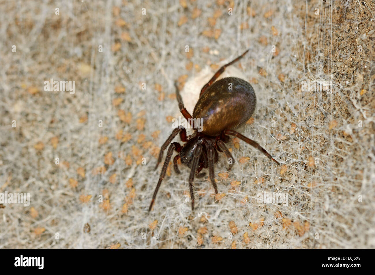 Black Lace Weaver Spider (Amaurobius ferox), female with youngs, North Rhine-Westphalia, Germany - Stock Image