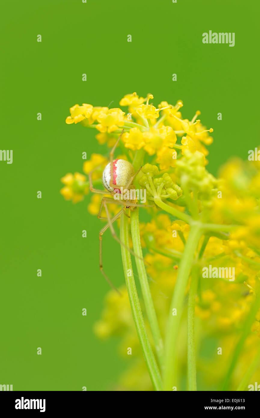 Cobweb Spider (Enoplognatha lineata, Enoplognatha ovata), female, North Rhine-Westphalia, Germany - Stock Image