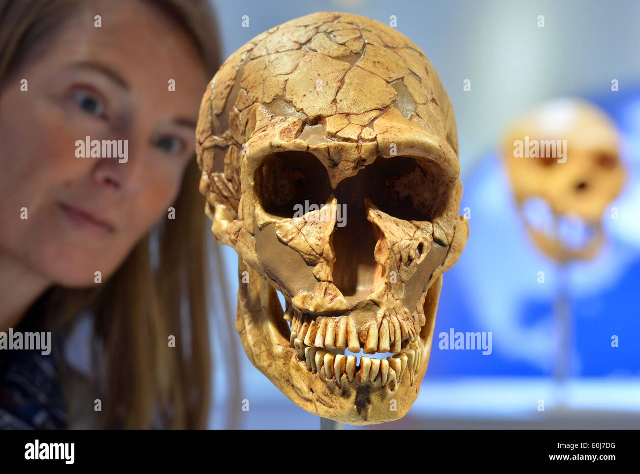 Chemnitz, Germany. 14th May, 2014. Museum educator Sabine Liener-Kraft looks at the replica of a skull of a Neanderthal Stock Photo