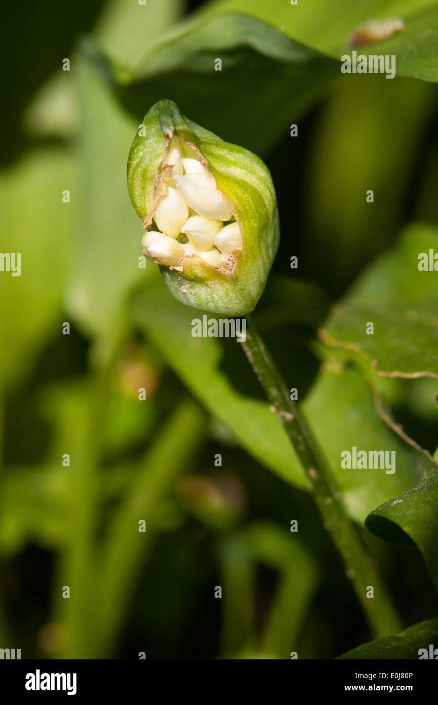 South East England , Kent , Woodlands , spring trees flowers , flora , Allium ursinum wild garlic buckrams bear bears flower bud - Stock Image