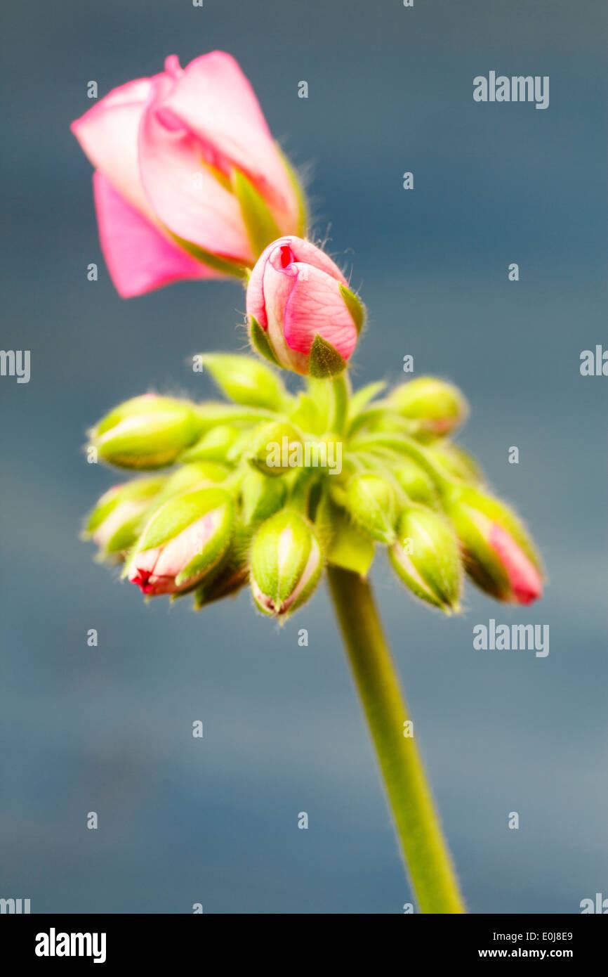 Pink Geranium - Stock Image