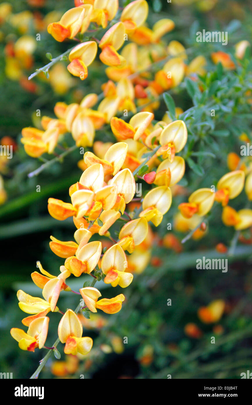 Cytisus Broom Apricot Gem - Stock Image