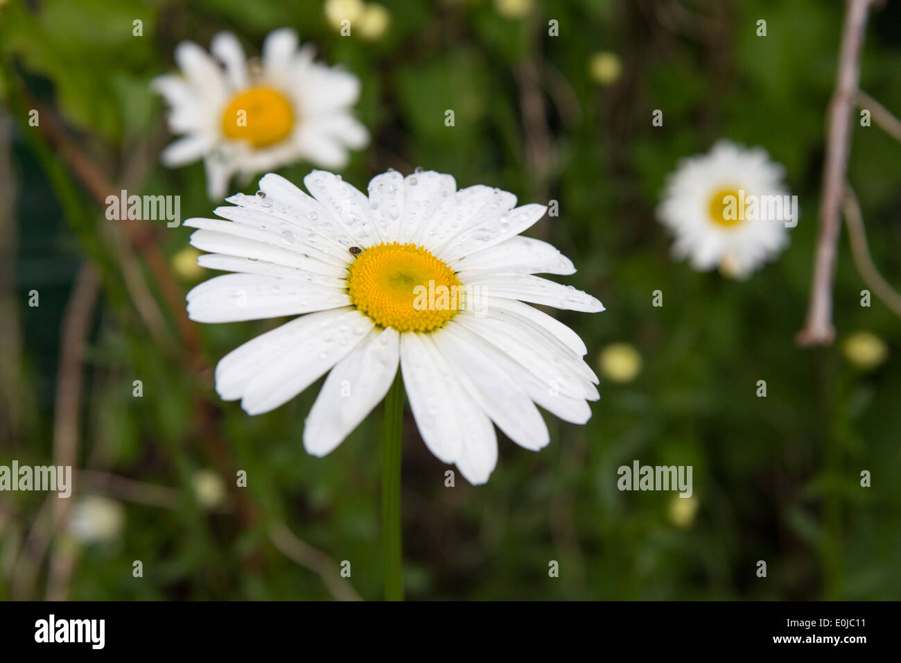 Marguerite flowers in the allotment garden - Stock Image