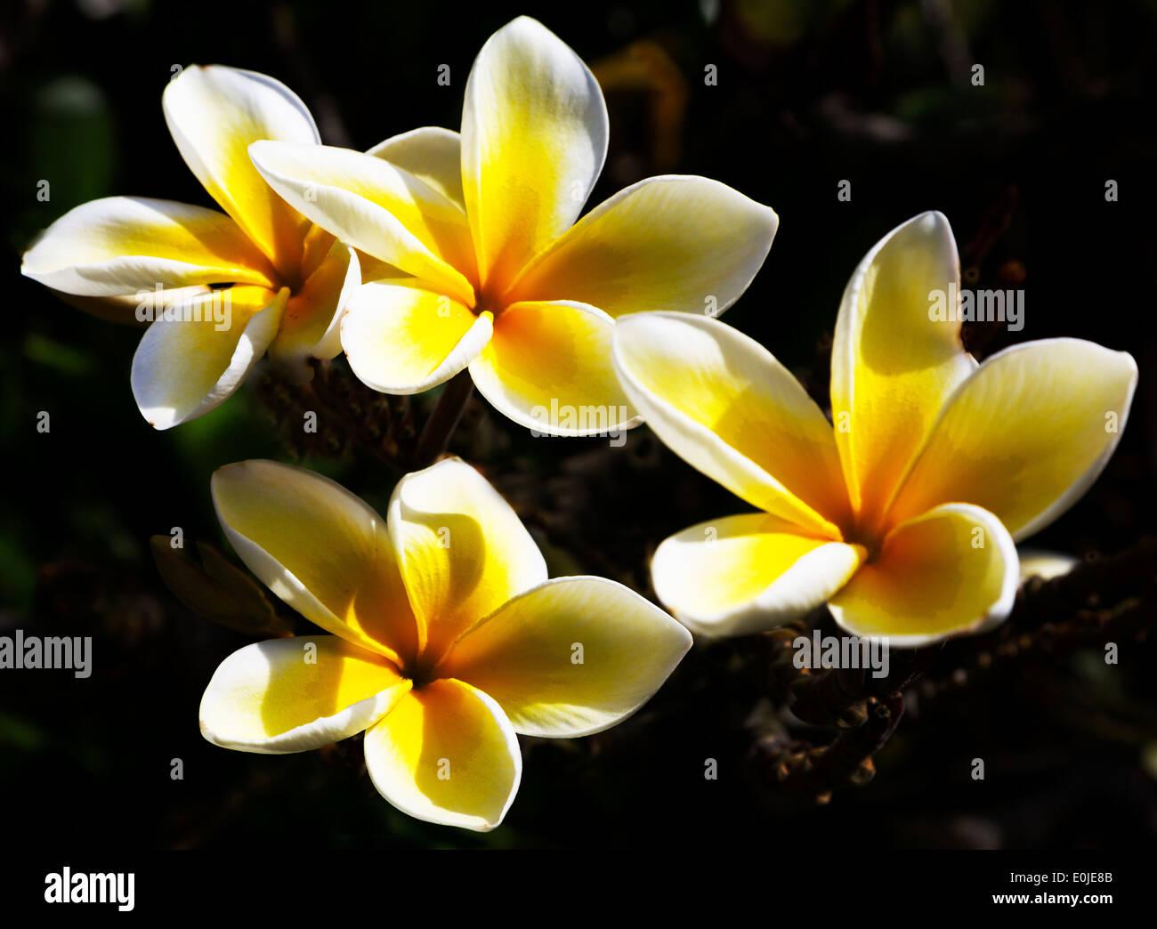 Plumeria Flower Hawaiian Flower Stock Photos Plumeria Flower