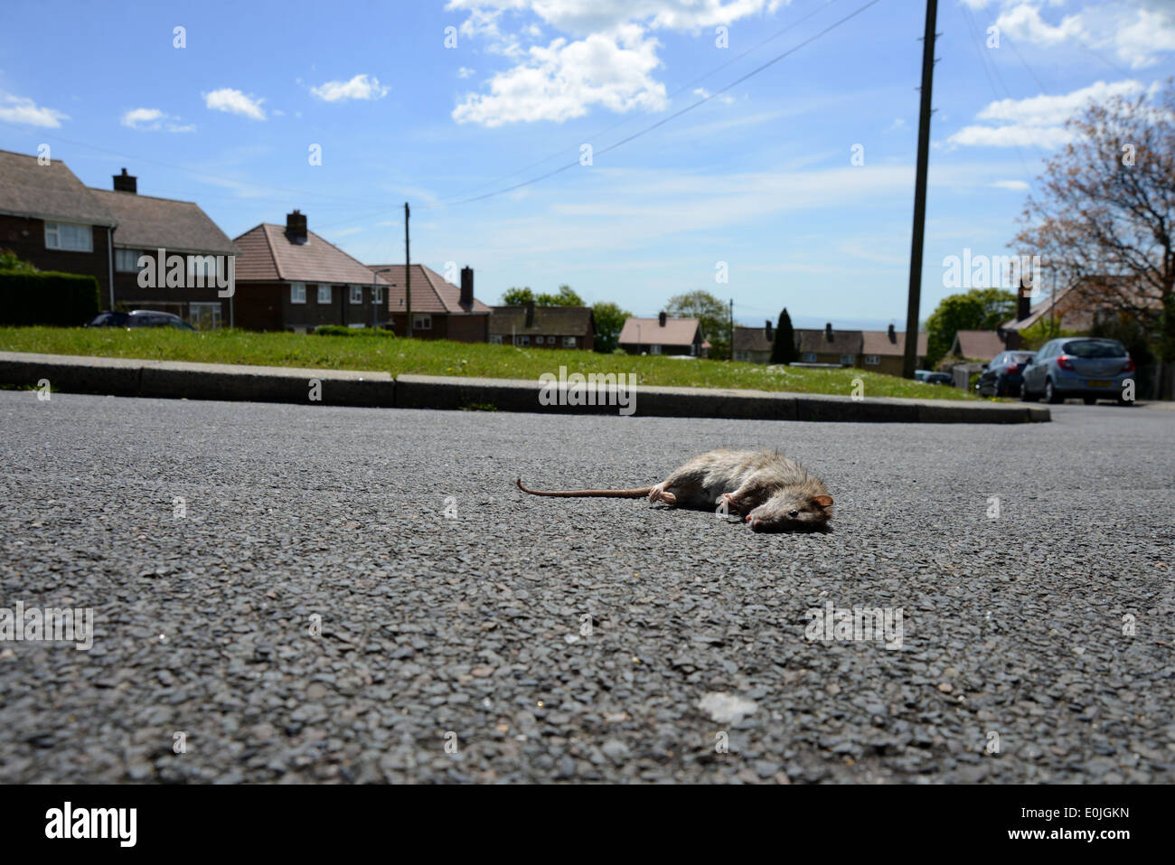 A giant rat pictured on the street in a residential area of Woodingdean, Brighton, East Sussex, UK. - Stock Image