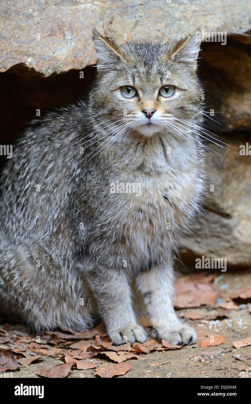 Wildkatze (Felis silvestris), captive, Bayern, Deutschland - Stock Image
